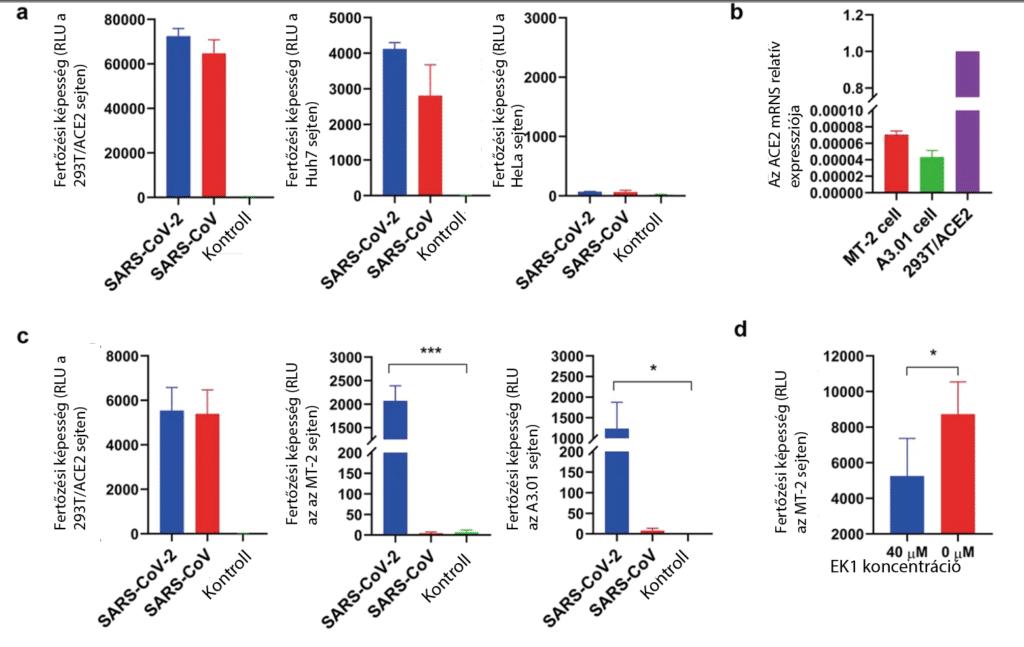 A T-limfociták érzékenysége a SARS-CoV-2 fertőzéssel szemben.