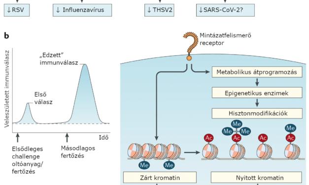 BCG-oltással indukált edzett immunitás
