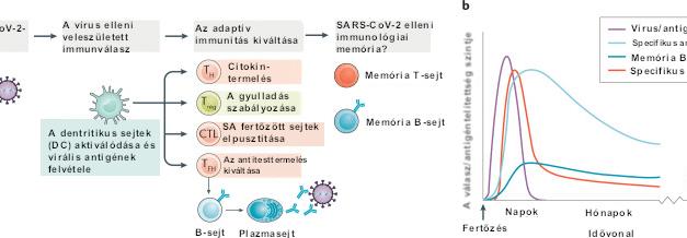 Nem csak antitestek: A B-sejtek és a T-sejtek irányította SARS-CoV-2 elleni immunitás