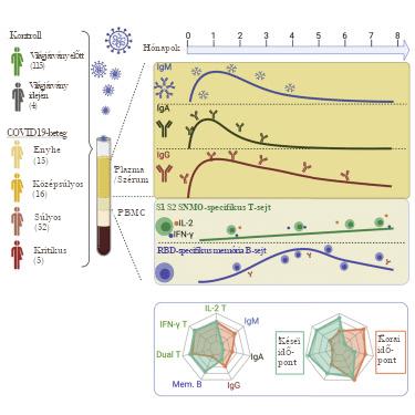 A SARS-CoV-2-specifikus B- és T-sejt-válaszok perzisztenciája gyógyult COVID19-betegeknél 6-8 hónappal a fertőzés után