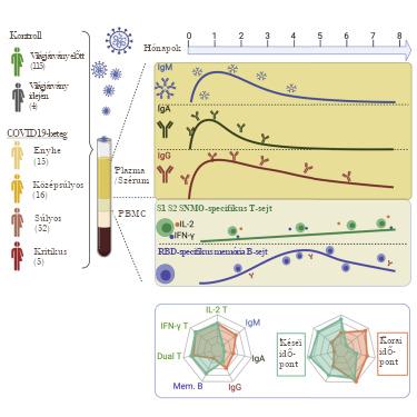 A SARS-CoV-2-specifikus B- és T-sejt-válaszok tartóssága gyógyult COVID19-betegeknél 6–8 hónappal a fertőzés után